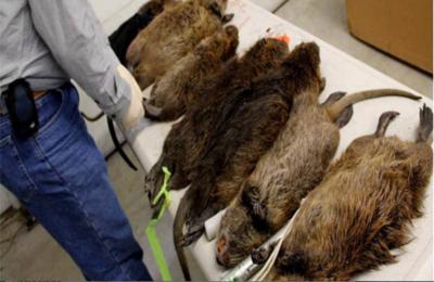 Ratas gigantes invaden casas de un barrio de londres - Trampas para ratas grandes ...