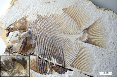 Encuentran fósil de pez piraña que vivió hace 150 millones de años